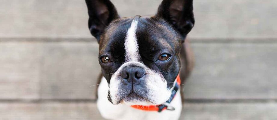 Why Boston Terrier Dogs are So Great